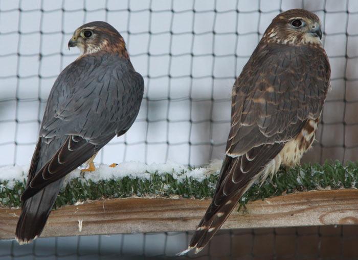 vanturei rosii soim falcon columbarius in bucuresti